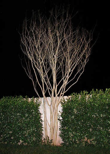 The graceful form of a natural crepe myrtle.