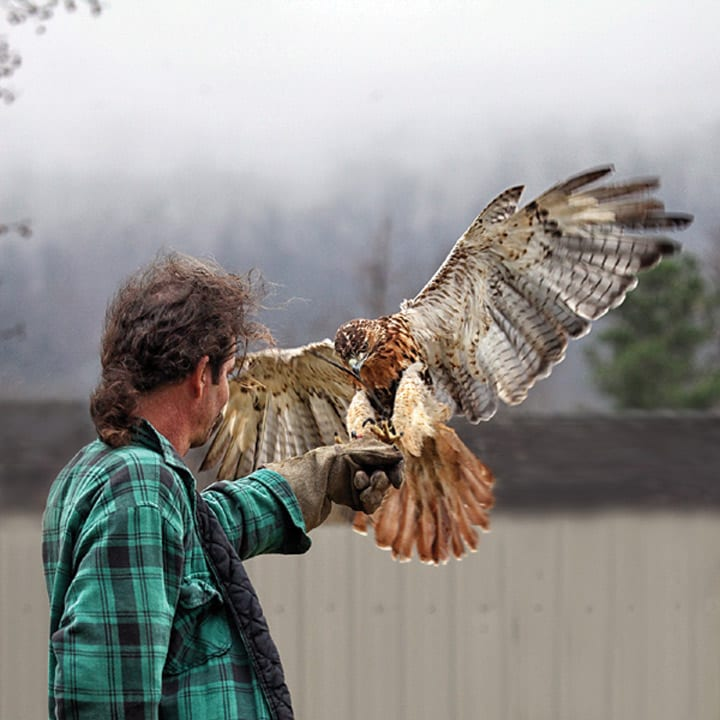 Shown above is Tommy Young releasing a rehabilitated Hawk in an undated photo.