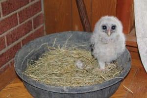 Baby-Owl-1