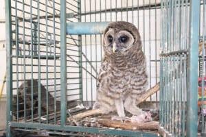 Baby-Owl-2
